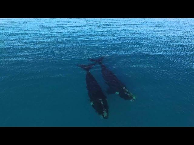 Видео с двумя китами, плавающими у побережья городка Эсперанс