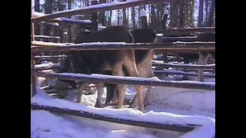 Лось-домашнее животное. Костромская лосеферма. часть1. Зима..