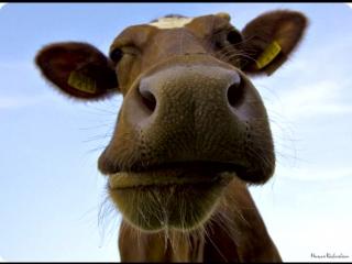 Смех коровы тест на психику кто заржет тот псих-ахахахах [480]