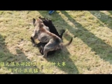 Собачьи бои Турнир в Китае 2015 канарский дог vs кане корсо
