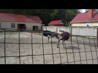 На страусиной ферме. 11.05.2015г.