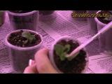 Размножение сенполий химер цветоносами.