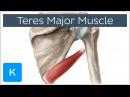 Teres Major Muscle Origin Insertion Action Human Anatomy Kenhub