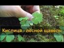 КИСЛИЦА лесной щавель заячья капуста