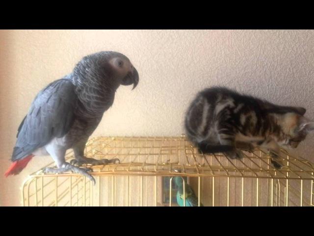 Жако и кот