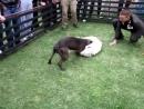 Собачьи бои питбуль  ALBANIA KENNEL'S (NEXHI) CH 3xW ZHUMPO