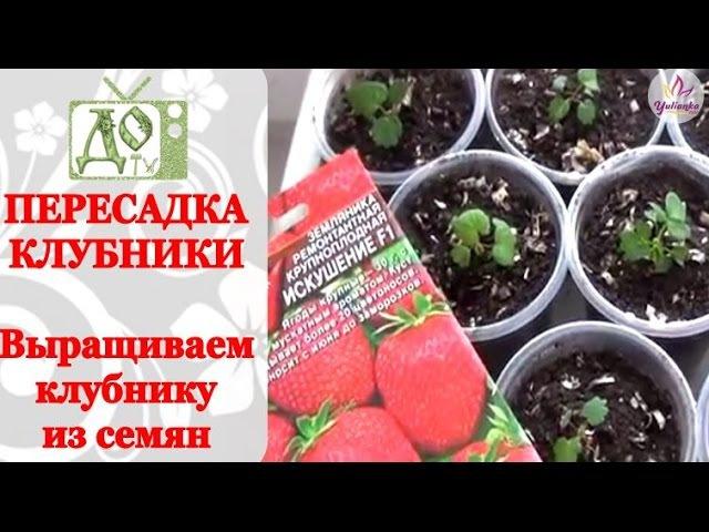 Пересадка КЛУБНИКИ. Выращиваем КЛУБНИКУ из семян.