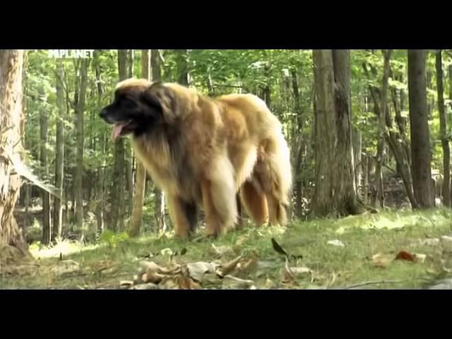 Введение в собаковедение 101 Dogs Часть 23 Animal Planet