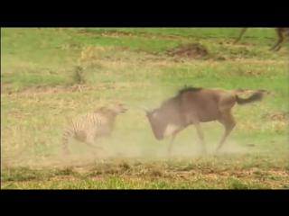 Для детей. Всё о животных - 30 - Антилопы Гну