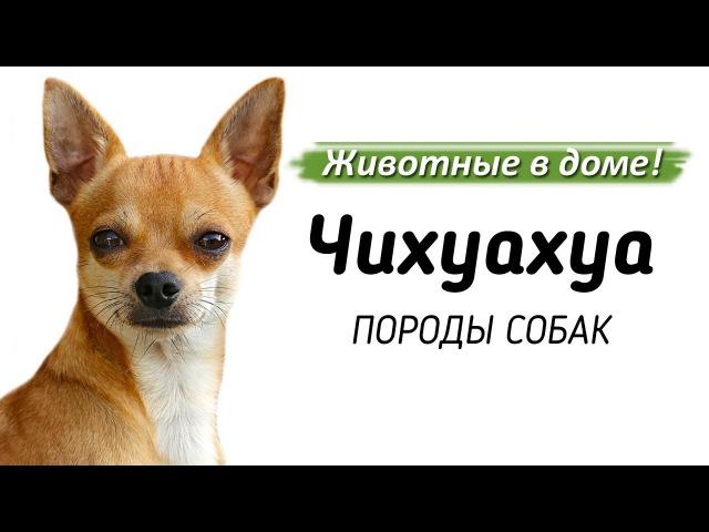 Чихуахуа породы собак