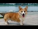Вельш-корги Пемброк, все породы собак, 101 dogs. Введение в собаковедение.