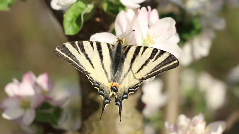 Бабочка парусник подалирий