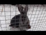 Кролеке