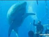 Самая большая белая акула, снятая на видео.