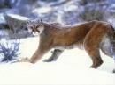 Roaring cougar, cougar screaming, growling cougar Рев кугуара, крик кугуара, рычание кугуара