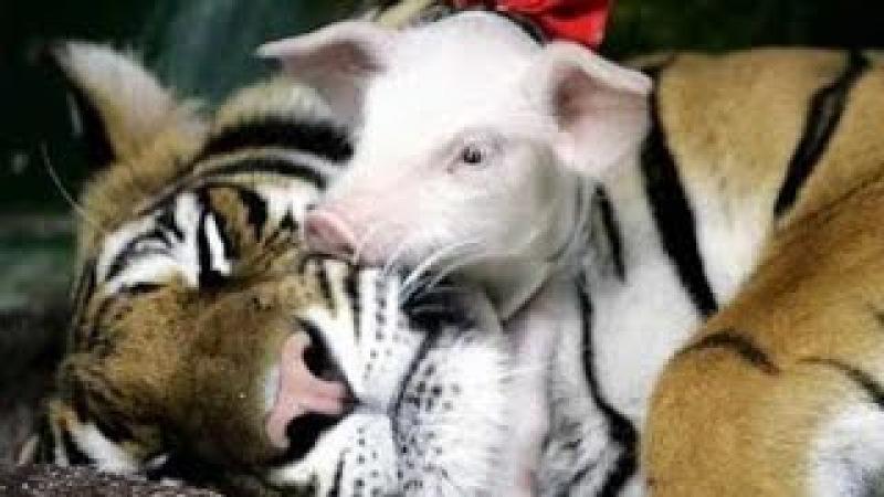 Tigresa adopta cerditos