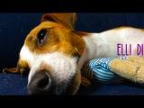 Elli Di 30 sec. Собака спит, джек рассел терьер отдыхает. Собаки - лучшие питомцы!