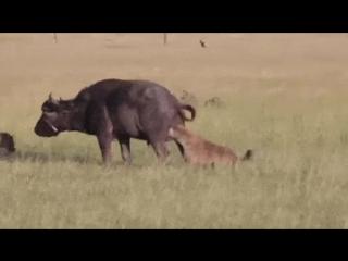 Видео полное боли быка за яйка буйвол львы львицы охота прикол животные гиены