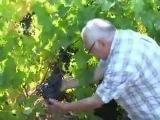 Выращивание зимостойких сортов винограда