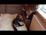 Кот прогоняет собаку с окна. Корги Ия и мейн-кун Галиаф