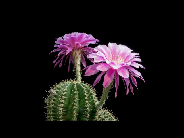 Time-Lapse Beautiful Cacti Bloom Before Your Eyes | Short Film Showcase