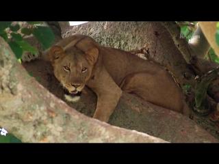 Animal planet. Большие и страшные. Древесные львы
