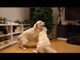 Собаки реагируют на ёлку