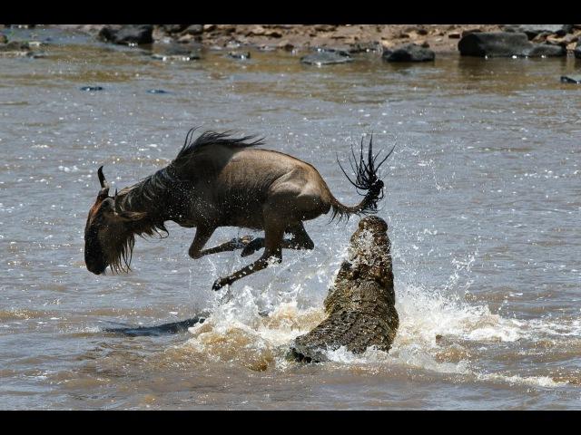 Зловещая охота крокодилов на зебр антилоп и газелей: Великая миграция через реку Мара