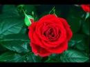 Как распускаются розы Нереально красиво mp4