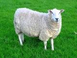 Sound sheep, sheep cry, voice sheep | Звук овцы, крик овцы, голос овцы