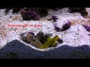 Symbiosis Shrimp and Goby