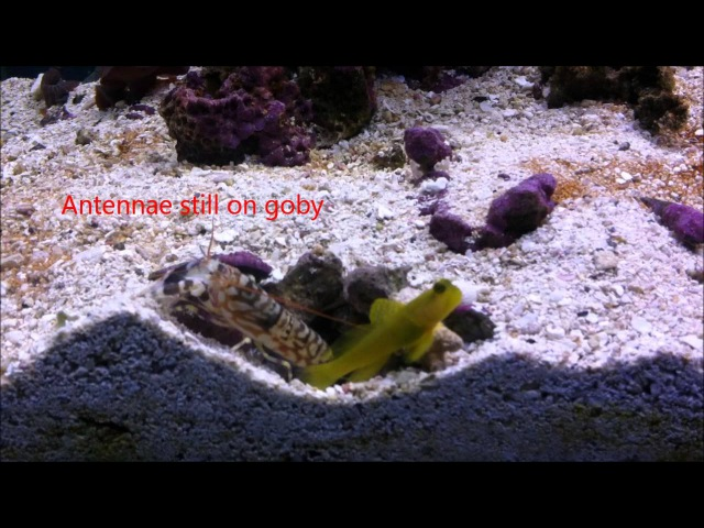 Symbiosis: Shrimp and Goby