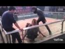 Bully kutta Red VS pitbull 4 (Питбуль булли кутта собачьи бои)