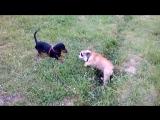 Луиджи играет с Максом (такса)