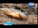 Экологическое бедствие в Братском районе гибнут сотни рыб, Вести-Иркутск