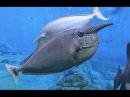 Spotted unicornfish Naso brevirostris
