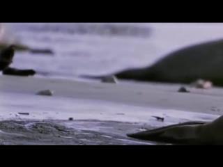 Ребятам о Зверятах - Северный Морской Слон (5 Сезон 1 Серия от ASHPIDYTU в 2006)