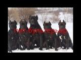 Бойцовские породы собак ( cool video)