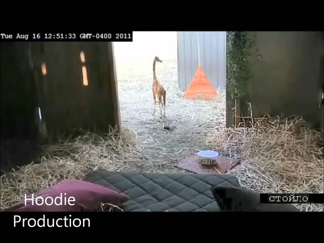 Mini Giraffes Exist