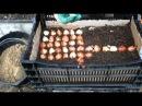 Посадка луковиц тюльпанов в ящики для выгонки..mp4