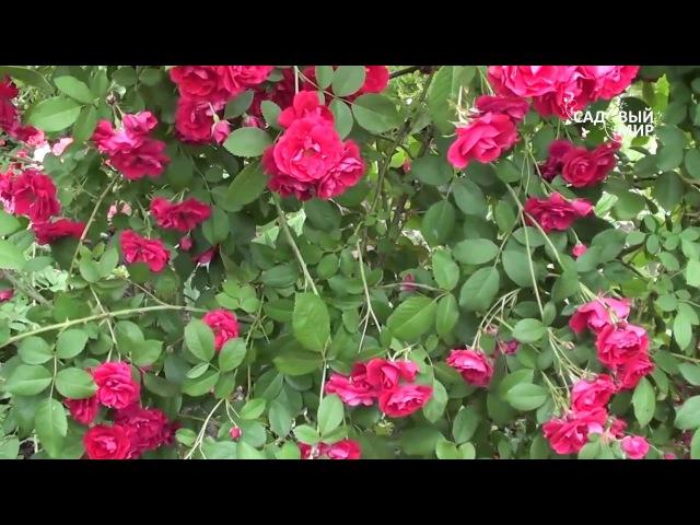 Как подкармливать плетистую розу. Сайт Садовый мир
