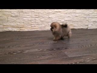FIRST BEST POM 💥👍🏻🏆, на видео ему 2 месяца, сын ТУЗа , померанский шпиц