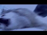 Белый плен хаски