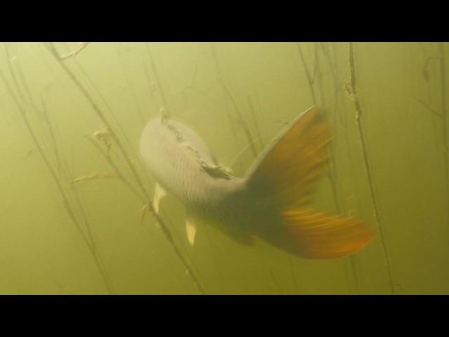 Подводная охота на карпа или сазана. Зреет конопля на берегу.