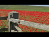 Relaxing Bird Song & Nature Sounds - Skylark Birds Singing & Poppy Fields Relaxation