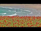 Skylark Bird Song and Nature Sounds - Birds Singing Over The Poppy Fields of Cornwall HD