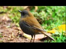 Birdsong, Nightingales Song, Nature Sounds