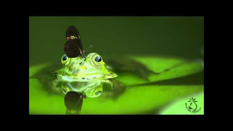 🎧 Sounds Of Frogs Croaking - Ribbit Frog Sound For Relaxation And Sleep Ambient