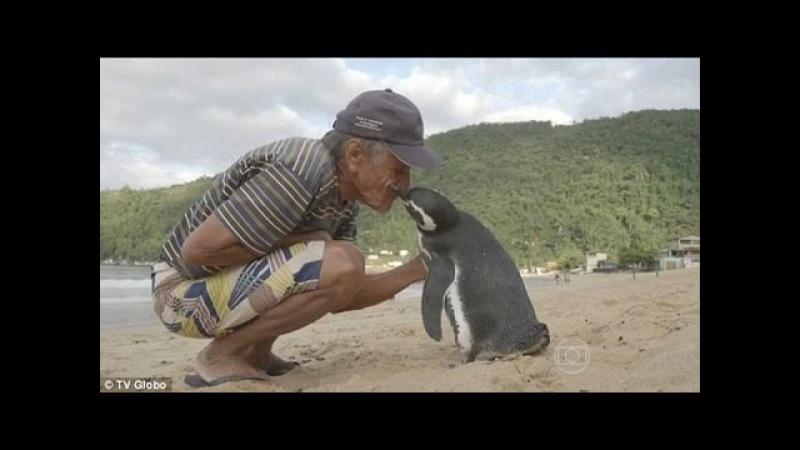 Пингвин проплывает 8,000 км каждый год, чтобы увидеть человека, который спас ему жизнь