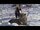 Вести.Ru: Тигр Амур и козел Тимур. Чудесная дружба
